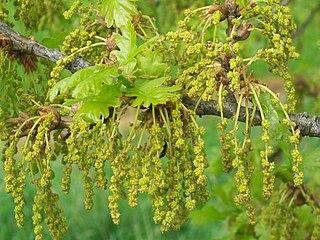 Les fleurs de Bach : découragement et désespoir : Oak (Chêne)