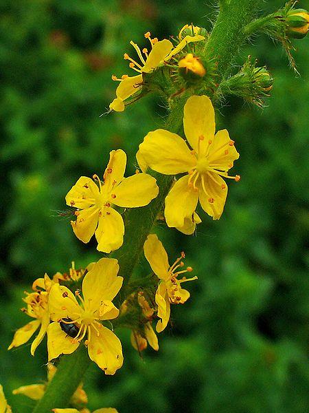 Les fleurs de Bach : Hypersensibilité à autrui : Agrimony (Aigremoine)