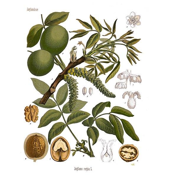Les fleurs de Bach : Hypersensibilité à autrui Walnut