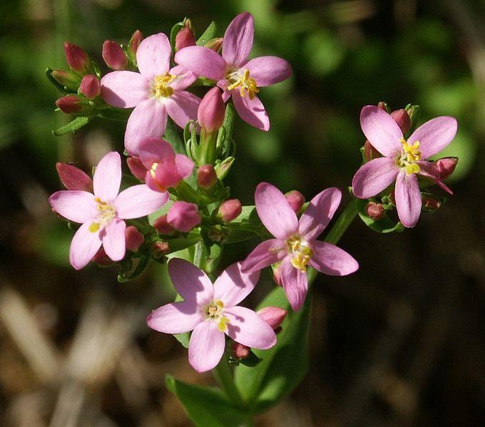 Les fleurs de Bach : Hypersensibilité à autrui : Centaury (Centaurée)