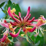 Les fleurs de Bach : Manque d'intérêt pour le présent Honeysuckle (Chèvrefeuille)