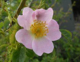 Wild Rose fleur de Bach