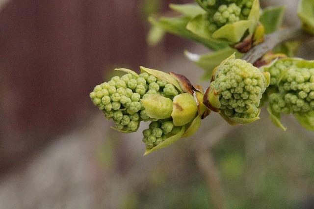 Les fleurs de Bach : Manque d'intérêt pour le présent Chestnut Bud (Bourgeon de marronnier)