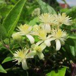 Les fleurs de Bach : Manque d'intérêt pour le présent Clematis (Clématite des haies)