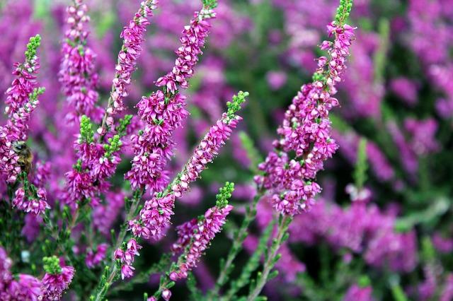 Les fleurs de Bach : la solitude : heather