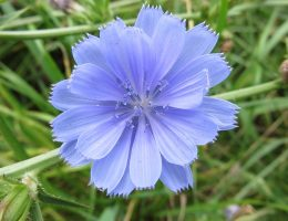 Les fleurs de Bach : Les préoccupations excessives : Chicory (Chicorée)